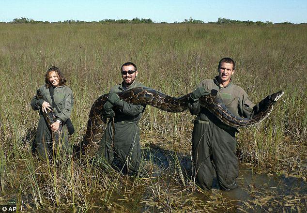 Un nuevo informe muestra que la proliferación de pitones coincide con una disminución de los mamíferos en los Everglades de Florida.  En este 2009 los investigadores tener una foto de 15 pies, 162 libras de pitón birmana capturada en el parque poco después se lo comió un cocodrilo de 6 pies