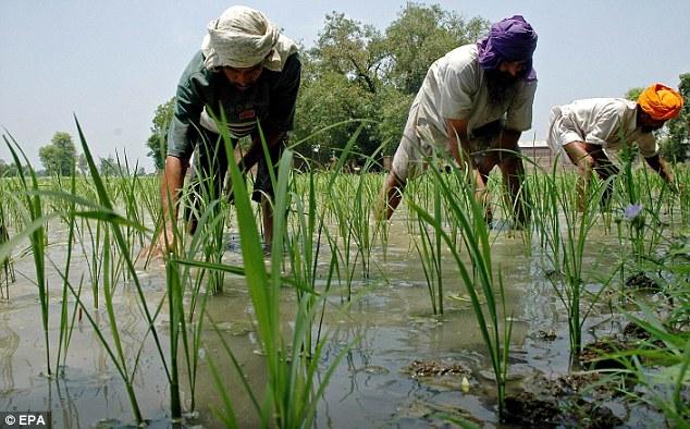 Progress: o crescimento populacional no subcontinente indiano exigiu a introdução de organismos geneticamente modificados de linhagens de plantas