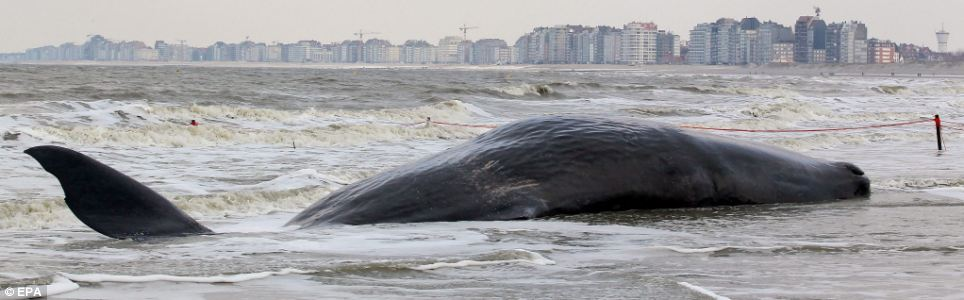 A sperm whale lies on the water's edge after it became stranded on the beach of Knokke-Heist, Belgium, yesterday