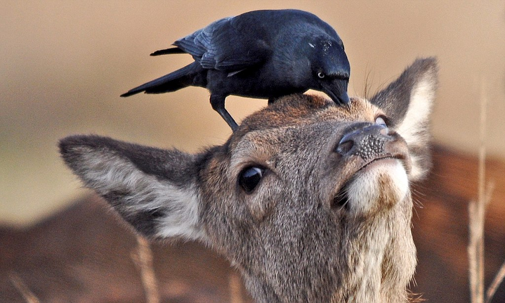 Crow Swoops Down And Perches On Bemused Roes Head Daily
