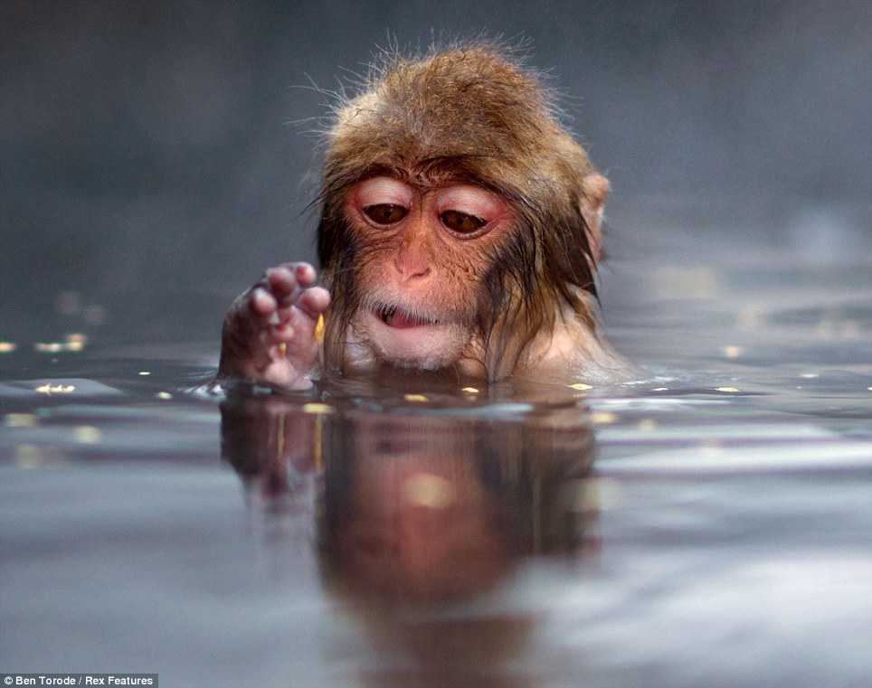 Monkeying around: And this young Snow Monkey seemed in no rush to get out - happy to stay enjoying the warm water