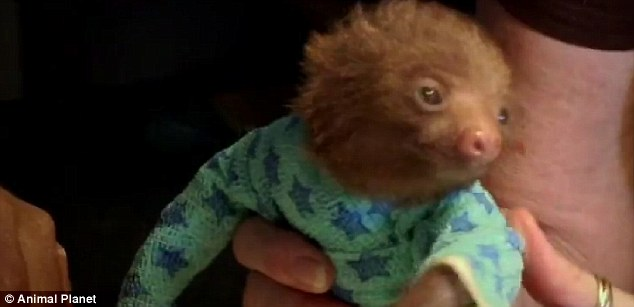 Snug: The orphan sloth look like they are wearing pyjamas during their treatment for mange