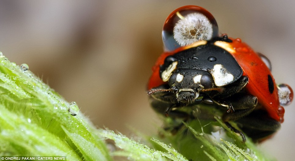 This ladybird looks like it is carrying a huge visitor on its back but it is just a water droplet