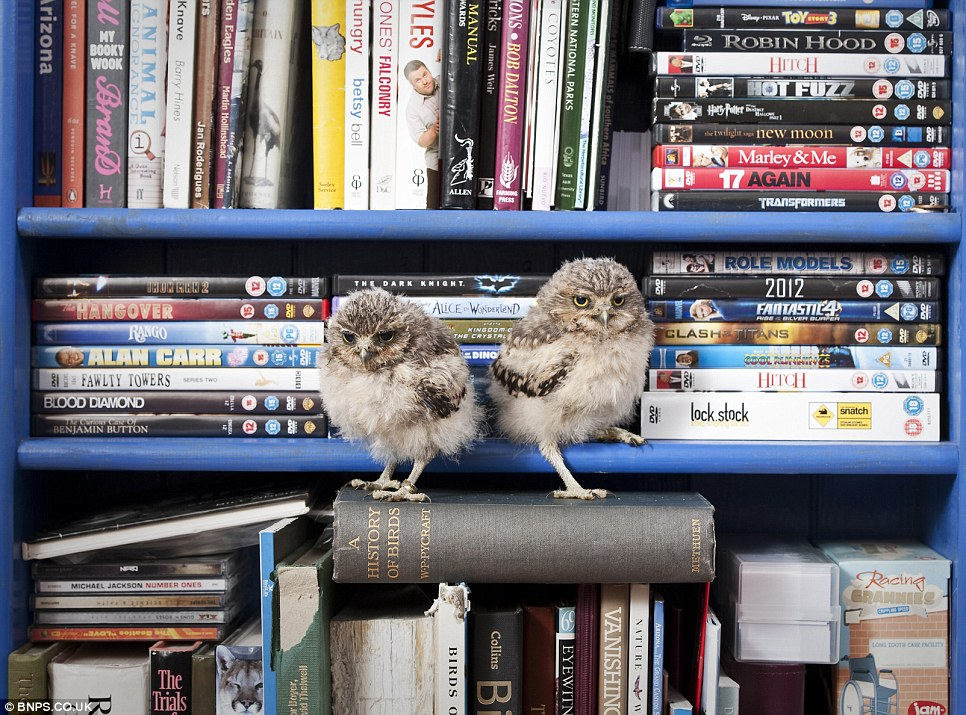 Aha, DVDs... Have you got The Birds by Alfred Hitchcock? The tiny burrowing owlets are nicknamed Linford and Christie