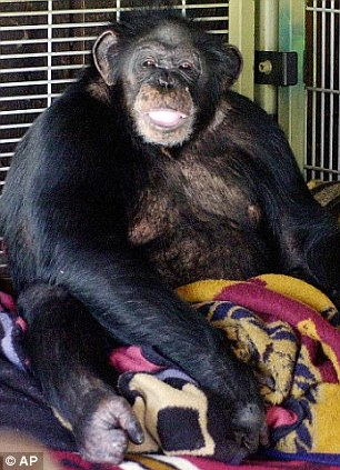 Andrew Oberle Chimp Attack Student Is So Badly Mauled His Parents Left Traumatised Daily Mail Online