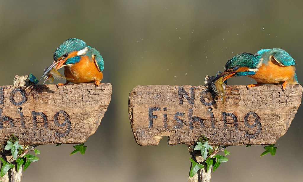 Can T You Read Kingfisher Catches A Fish And Cheekily