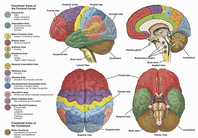The various areas of the human brain