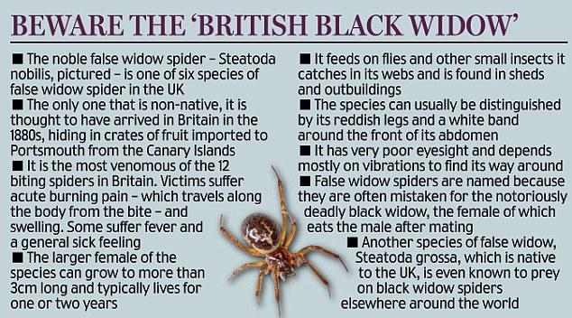 Beware the British black widow