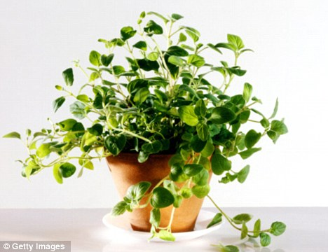 Tests have shown Oregano, which is common in pizzas, causes cancer cells to die, they are now researching why this is