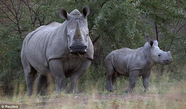 Endangered: A White Rhino and her calf walk in the dusk light in Pilanesberg National Park. More than 180 have been killed in South Africa so far this year