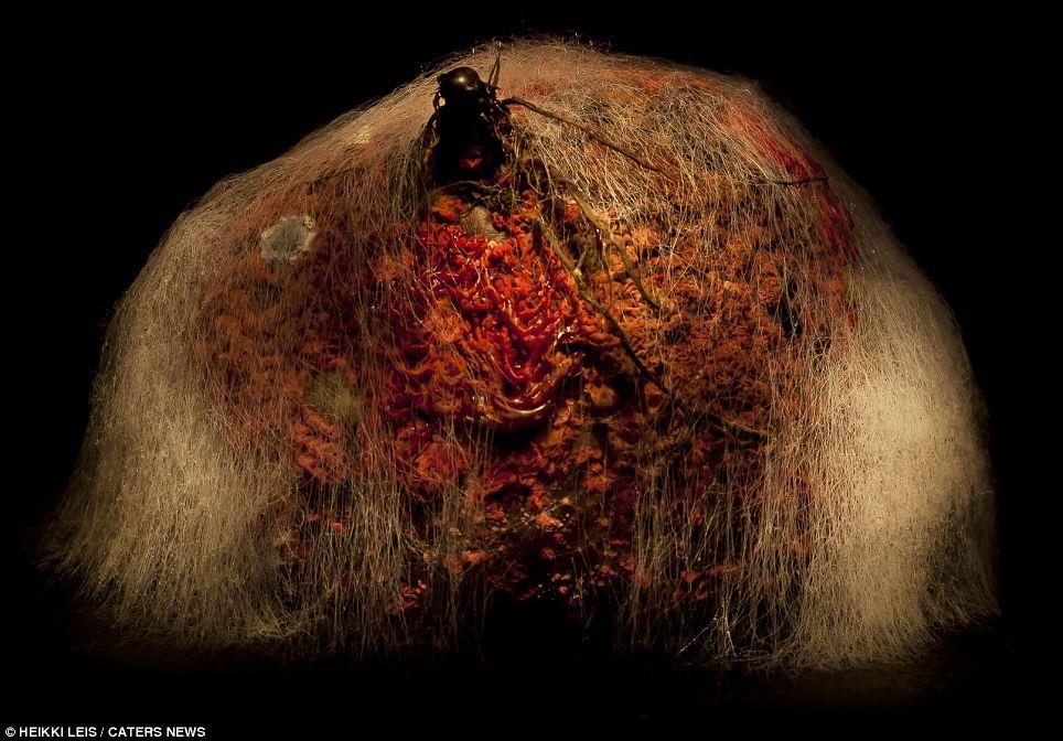 Se vino del espacio exterior: Esta remolacha se parece a un moho pustulating, la bestia peluda de otro mundo