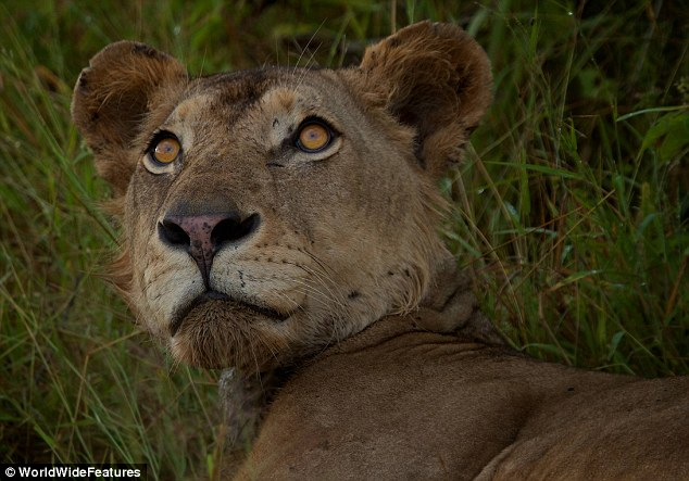 Weak: The animal was so sick it struggled to raise its head as park wardens approached