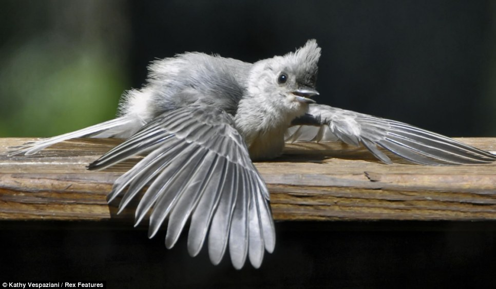 Flew what a scorcher! A tufted titmouse suns itself in Massachusetts