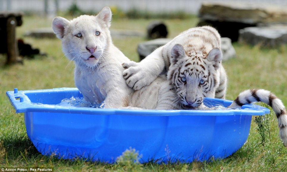 White tiger cubs Jeevan and Ashoka cool off in a paddling pool at a safari park in Germany