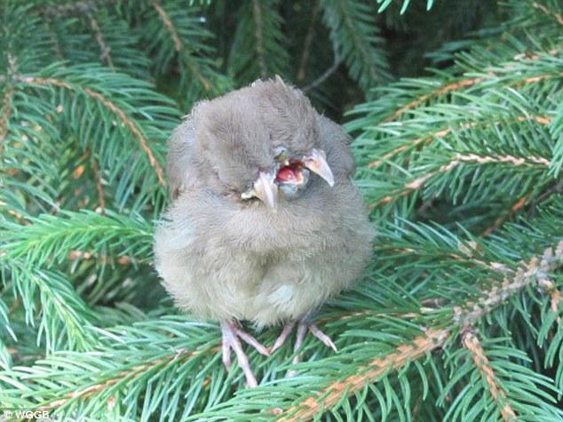 Bizarre: Avril Britt a trouvé ce cardinal bébé de sexe féminin à deux têtes et trois becs perchés sur une branche dans son jardin