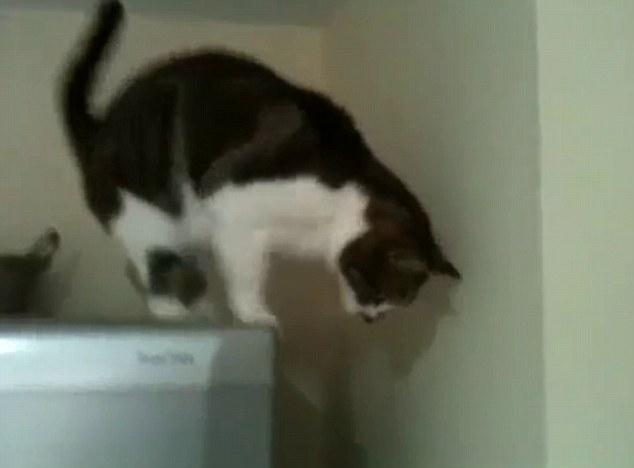 Aller, aller ... Les regards intrépides félins sur le bord du réfrigérateur pour une seconde