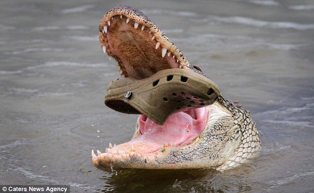 The scaly predator likely thought the clog was food when it went after it
