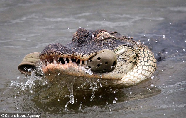 The gator eventually admitted defeat after growing frustrated with the rubbery snack