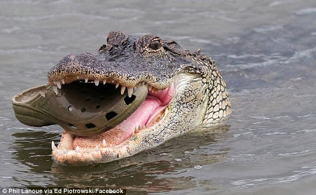 The reptile was spotted munching on the dark-green clog in South Carlina's Huntington Beach State Park