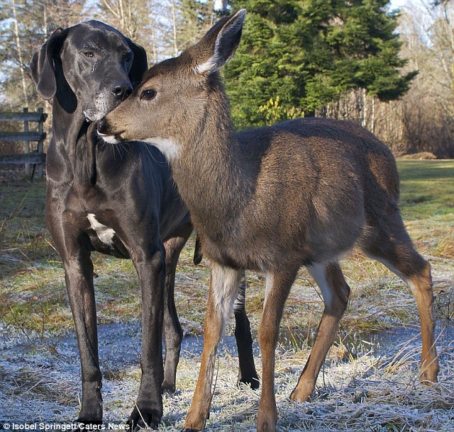 Furry friends: The pair bonded but critics say the fawn should not have been taken in by Isobel Springett
