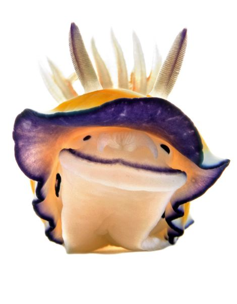 chromodoris nudibranch raising its mantle to detect its environment