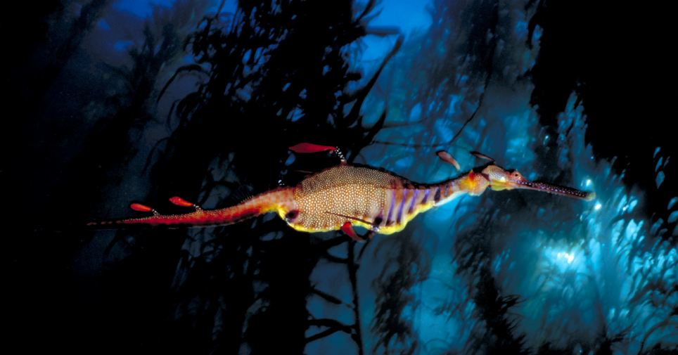 Unearthly imagery: A weedy sea dragon, Phyllopteryx taeniolatus, patrols a kelp forest at Waterfall Bay, Tasmania, Australia