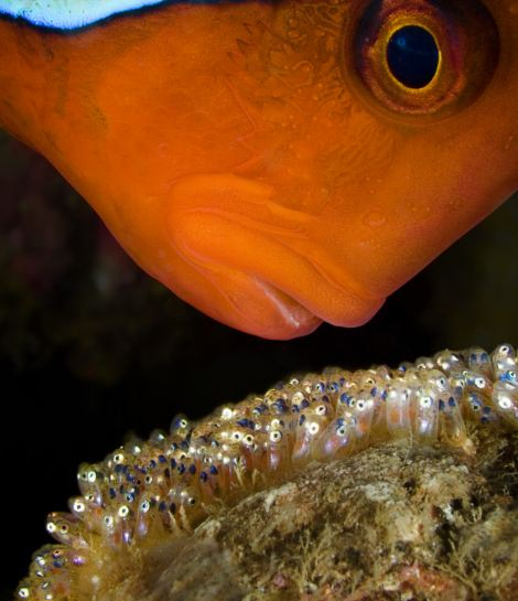 A male tomato clownfish gaurds his clutch of developing eggs, Anilao, Philippines. The eggs hatch in one week and are well tended and fiercely guarded by the male parent