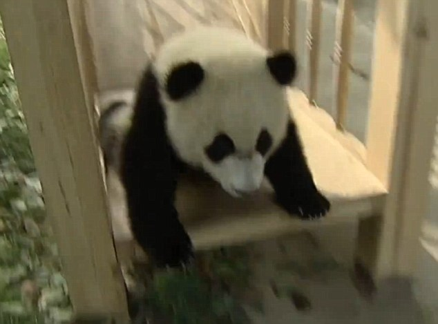 Hap! Hap! Sungguh anak Panda yang lincah