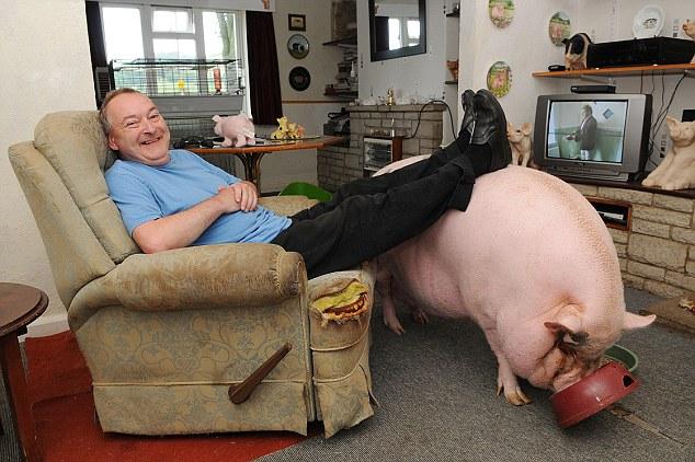 Metros de altura: Colin Webb cree un cerdo micro haría un animal doméstico ideal y compró Babe en el Internet por 250 libras como regalo para su esposa Susie