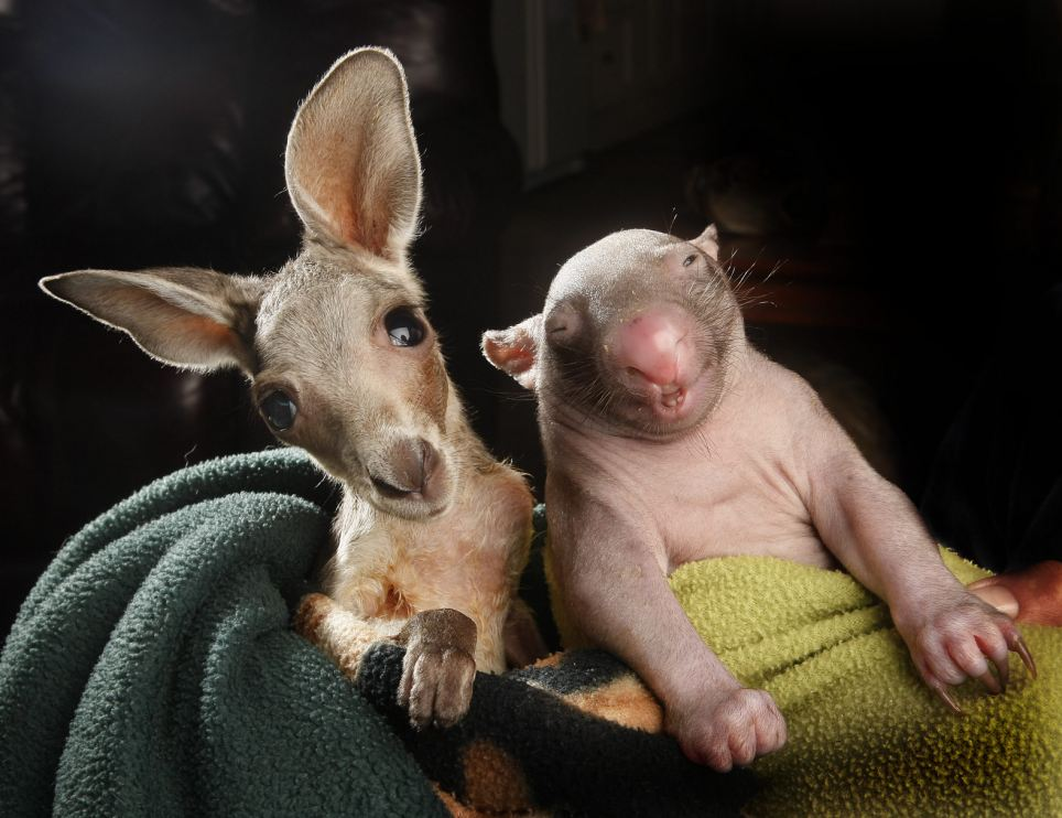Best pals: Anzac the joey and Peggy the wombat have become best friends after sharing a pouch together at the Wildlife Kilmore Rescue Centre in Victoria, Australia