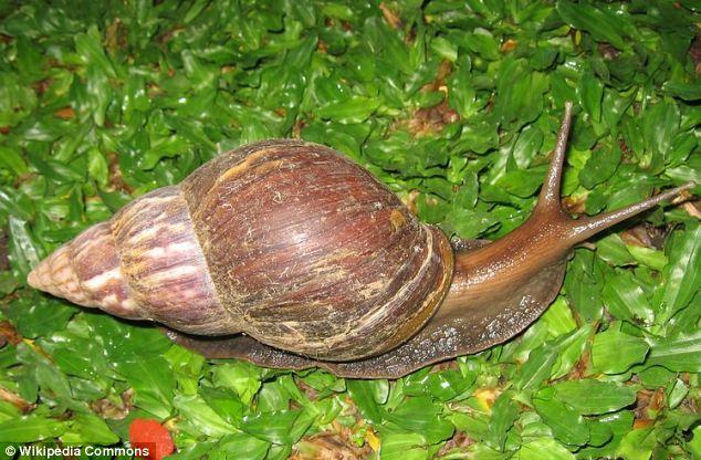 Nader Nazemi,Snails, African,Giant, Lungworms, Rat, Host, Body snatchers,Florida,Nader Nazemi
