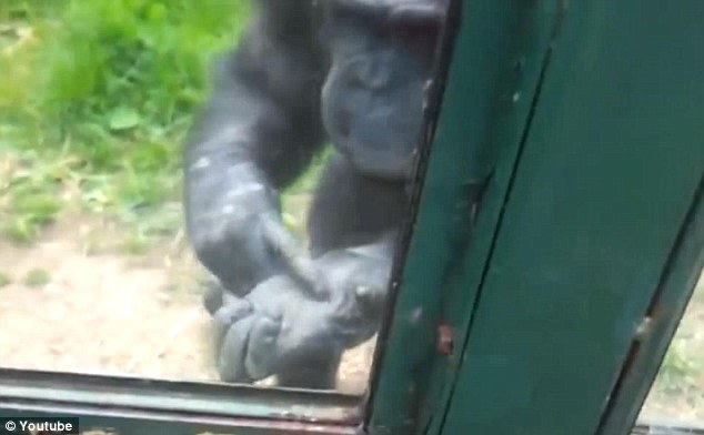 Understand me! The chimp points to its hands as it attempts to make itself understood