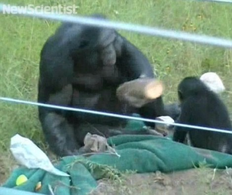 Tool-building: Kanzi the bonobo picks up one of the logs, which contains treats inside