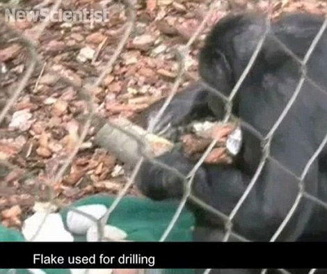 Tool-building: Kanzi the bonobo picks up one of the logs, which contains treats inside, and sets to work scraping it open