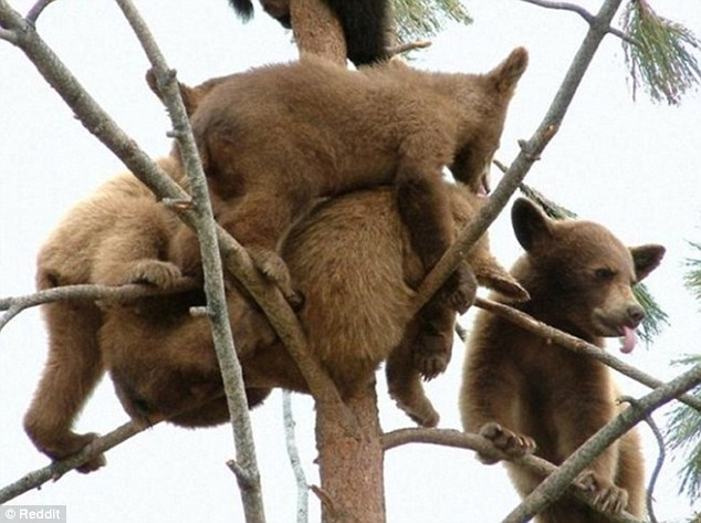 A group of playful young bear cubs climb over each other as they crowd the sparse branches of a tree