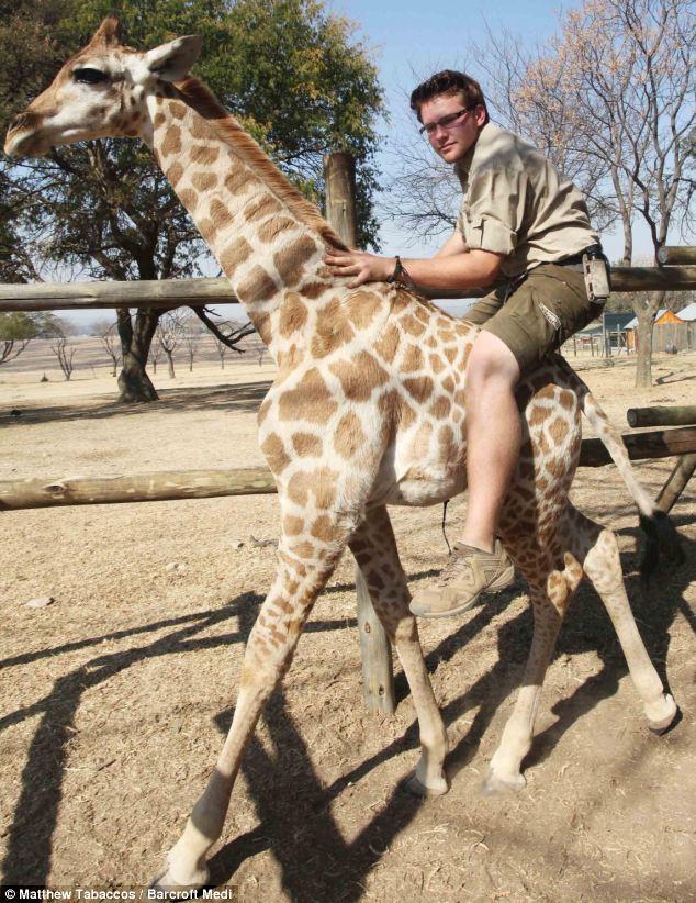 Image result for ride giraffe