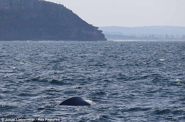 Whale watching tours are hugely popular in Sydney, but the blue whale has rarely been spotted