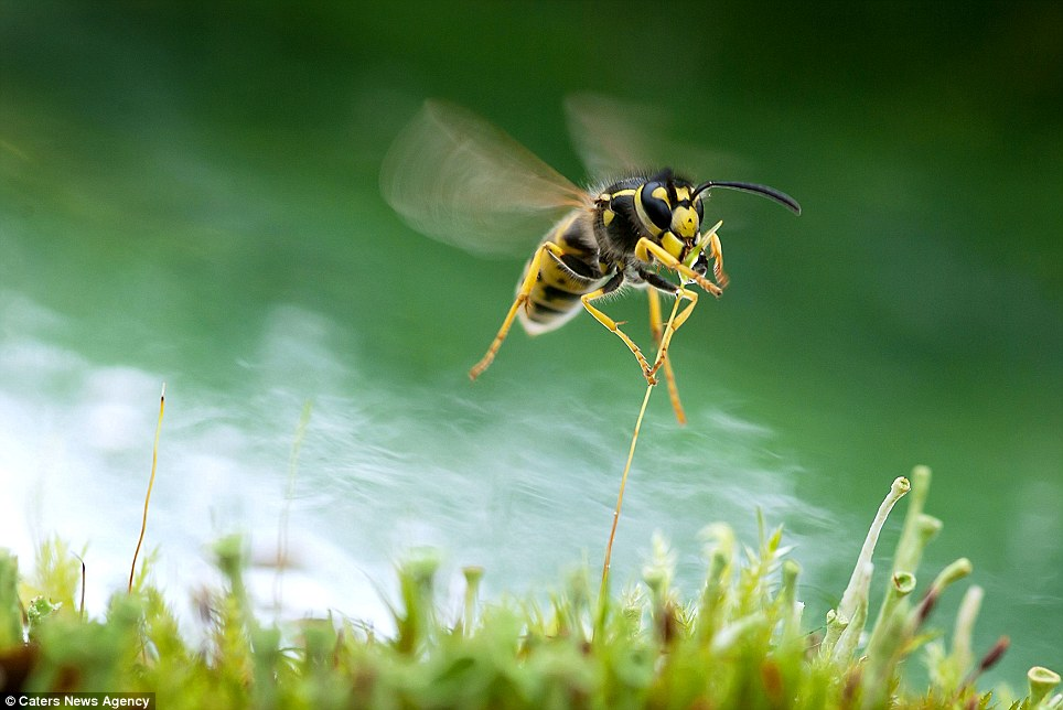 Hang on! A wasp grabs onto a single stalk of grass to grab a treat from the bud at the top