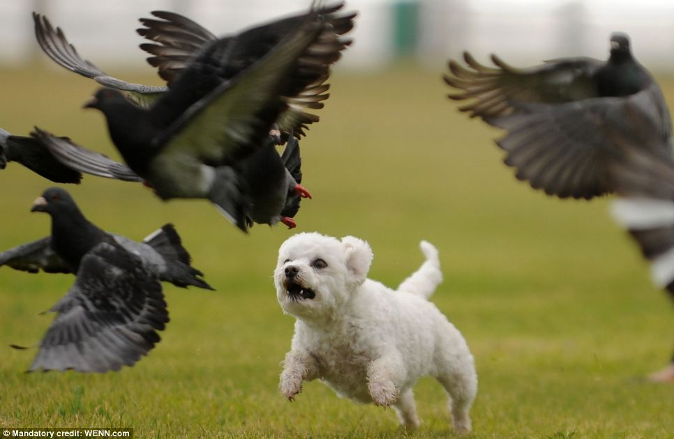 Now that's setting the dog among the pigeons: Third place runner-up in the Dogs at Play category. Photo taken by Tracey Adams