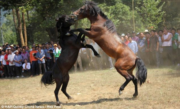 Moneymakers: It is common for the spectators to bet on the outcome of the horsefights
