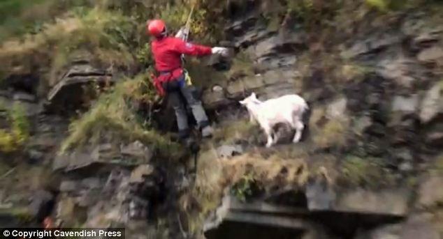 Mountain Jumping Goats Cliff