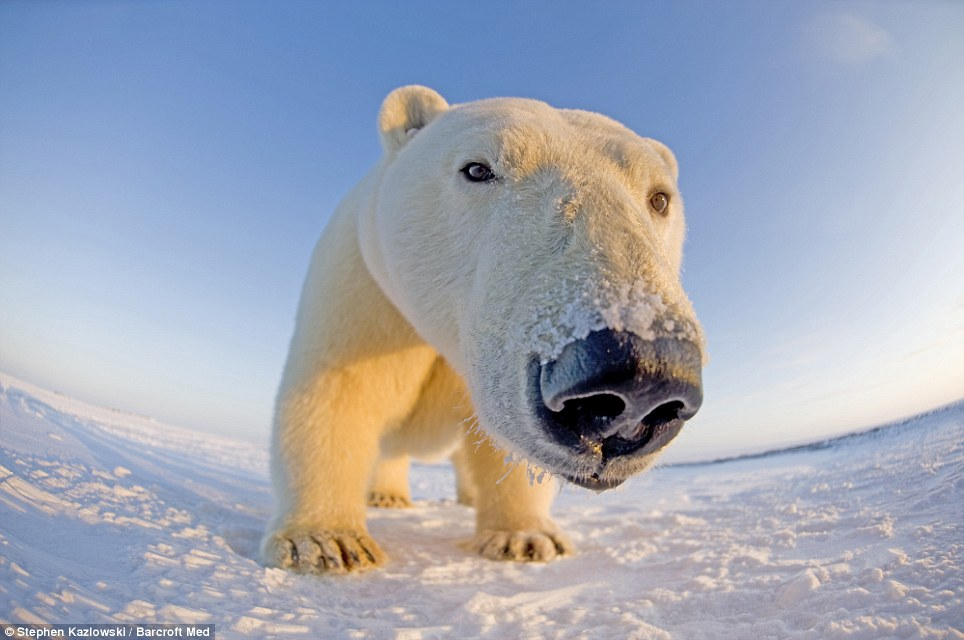 In-your-face polar bear pictures (1/6)