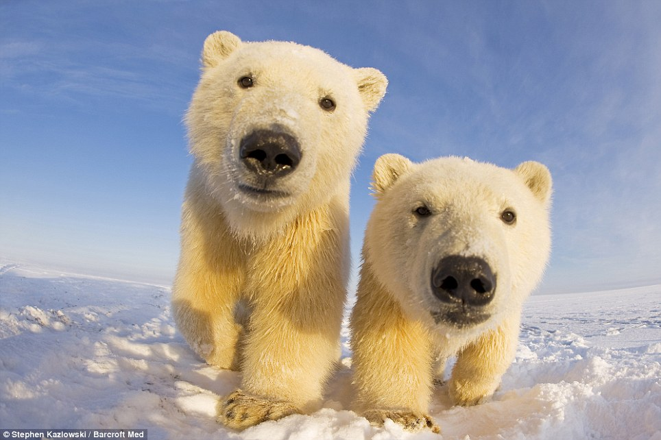 In-your-face polar bear pictures (2/6)