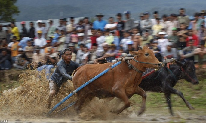 Making a splash: The festival of cow racing celebrates the end of rice harvesting season by the Minangkabau people in West Sumatra, Indonesia