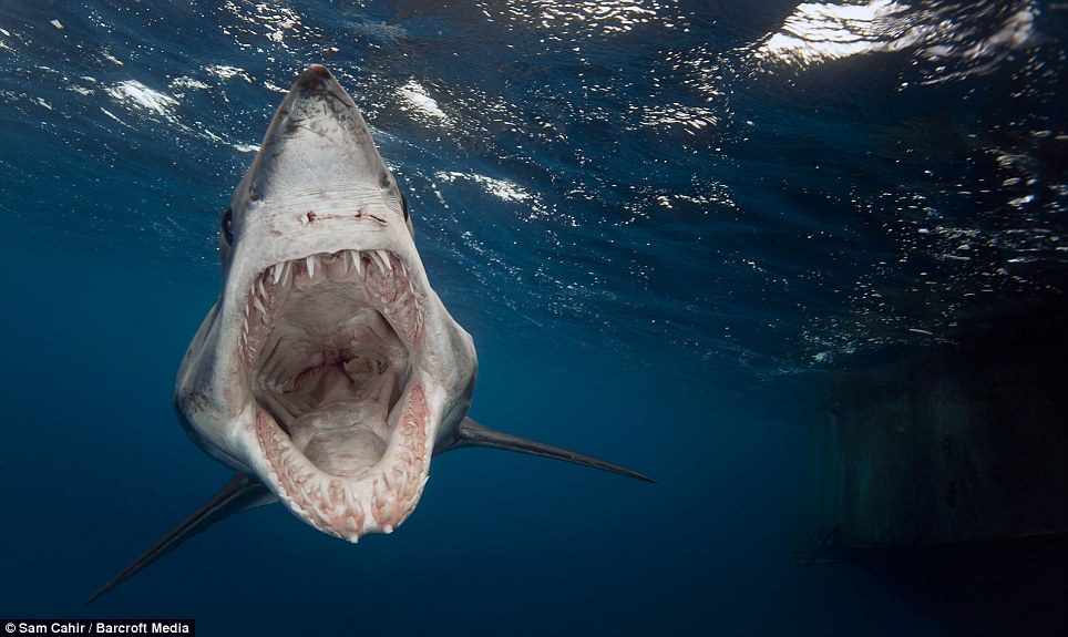 Snappy temper: The Shortfin Mako shark - which have been known to attack humans - eventually left after eating tuna baits thrown into the water