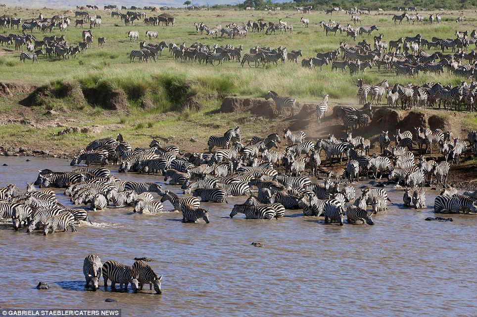 Deadly calm: The zebras remain in the water, even though several crocodiles can be seen moving towards them