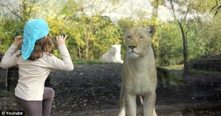 Gloating: the girl's young friend mocked the lioness who let her 'prey' get away