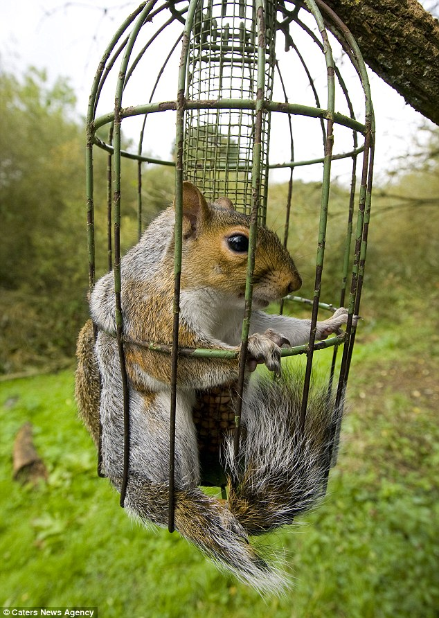 Hungry Squirrel Trapped In Bird Cage Daily Mail Online
