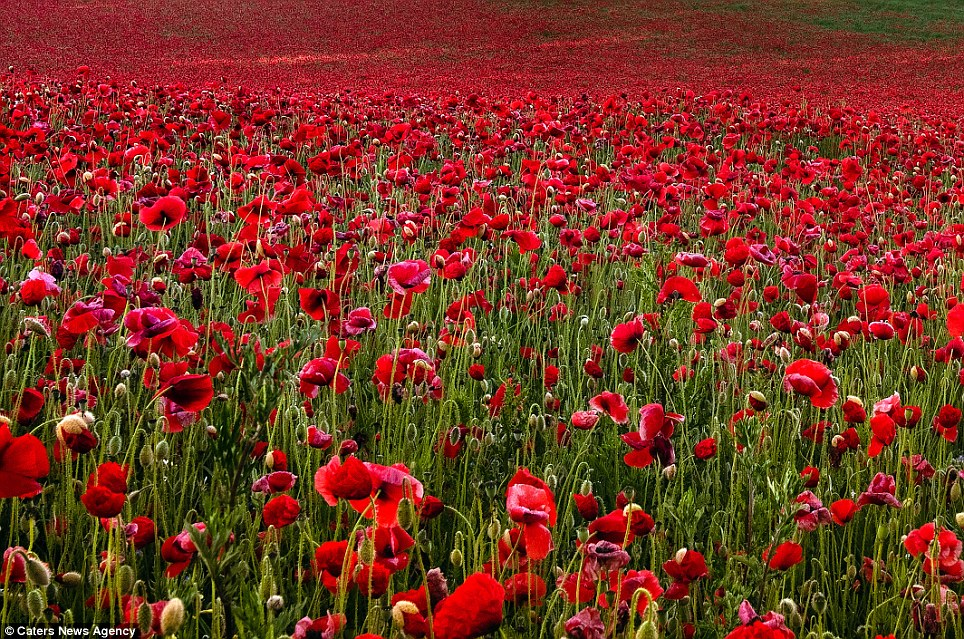 Image result for remembrance poppy field