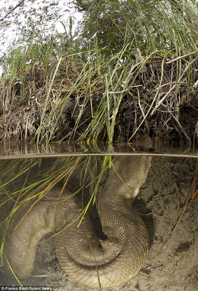 Ready to strike: Brave diver and snake enthusiast Franco Banfi captured this image of an enormous anaconda snake lurking beneath the surface of a river in Mato Grosso do Sul, Brazil